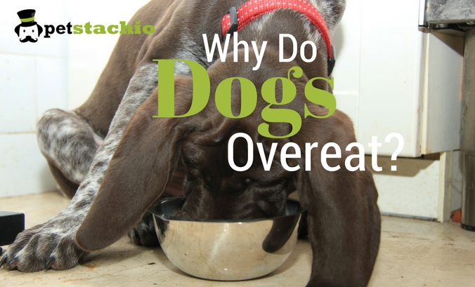 Why Do Dogs Overeat?