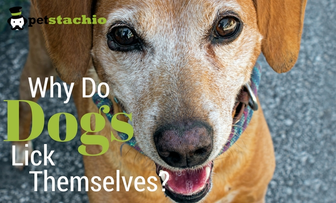 Why Do Dogs Lick Themselves?