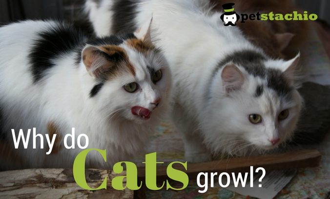 Why Do Cats Growl?