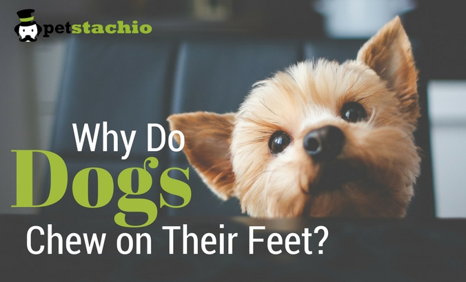 Why Do Dogs Chew on Their Feet?